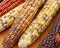 is maize gluten free
